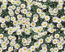 TableclothsWorld Daisies PVC Vinyl Wipe Clean