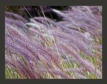 Tall Grass in Purple 3.09m x 400cm Wallpaper East