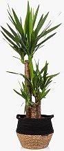 The Little Botanical Extra Large Yucca Plant &