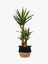 The Little Botanical Large Yucca Plant & Basket