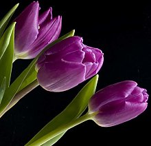 TOYHEART 50Pcs Premium Flower Seeds, Tulip Seeds