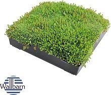 Wallbarn - M-Tray SEDUM Green Roof Module 500 x