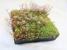 Wallbarn - M-Tray SEDUM / Wildflower Green Roof