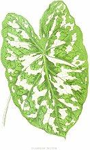 Wee Blue Coo Leaf Caladium Pictum Art Print Canvas