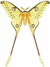 Wee Blue Coo Moth Yellow Illustration Art Print
