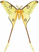 Wee Blue Coo Moth Yellow Illustration Large Wall