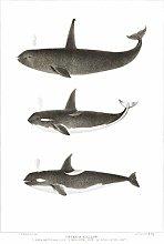 Wee Blue Coo Orca Killer Whales Art Print Canvas