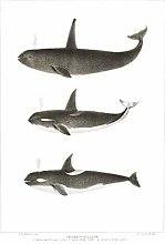 Wee Blue Coo Orca Killer Whales Large Wall Art