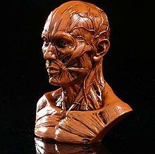 XIONGDA Human Muscle Model Anatomical Skull Head