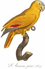 Yellow Amazon Bird Art Print Canvas Premium Wall