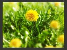 Yellow Flower Field 2.70m x 350cm Wallpaper East